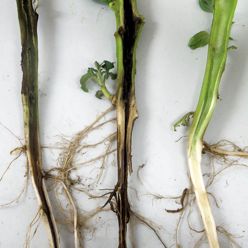 Черная ножка корня фото