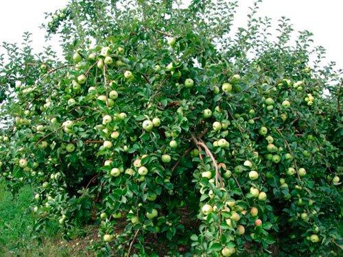 Большая карликовая яблоня на снимке