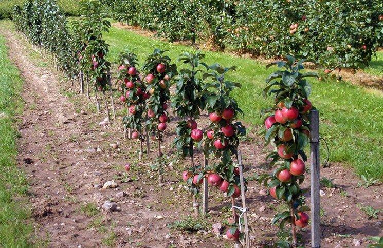 Колоновидный сорт яблони фото