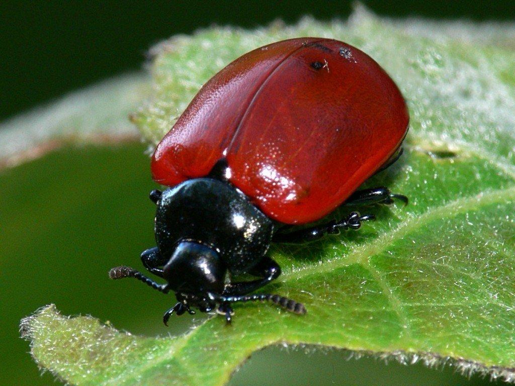 Красный тополевый листоед снимок