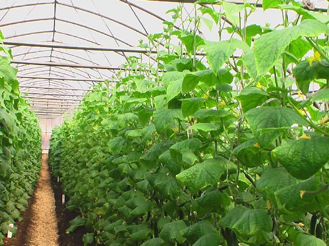 Выращивание кустов в теплице