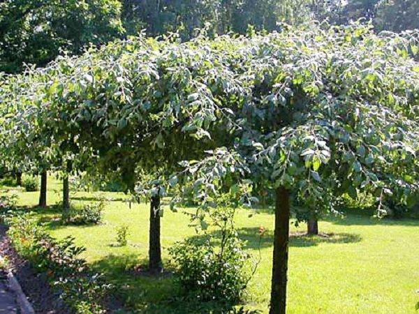 Высадка плодовых деревьев вдоль дороги