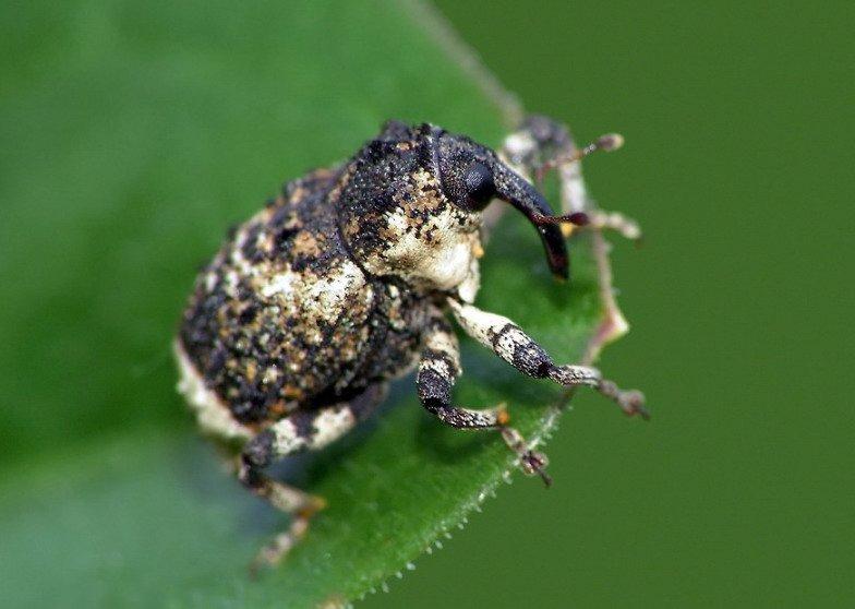 Стеблевой капустный скрытнохоботник на листке