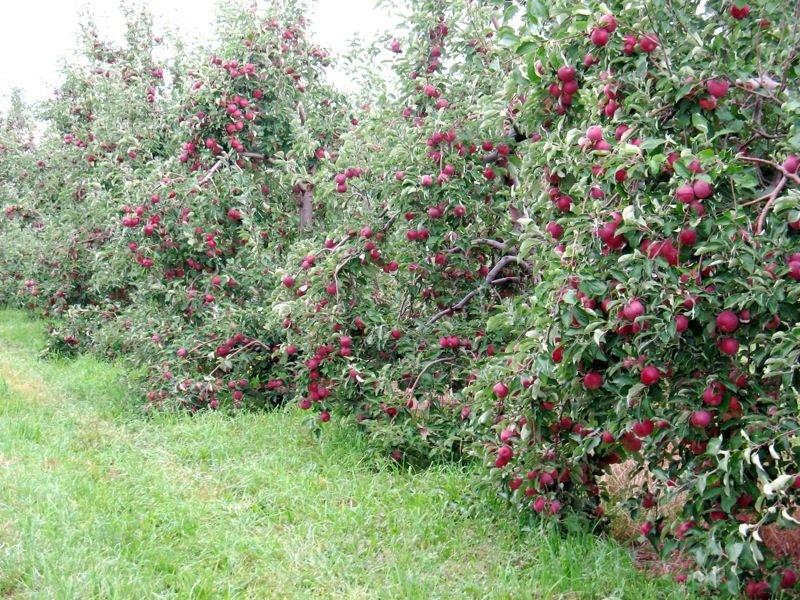 Карликовая яблоня весной фото
