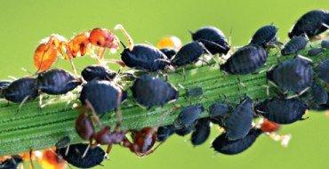 Синяя тля на растении фото