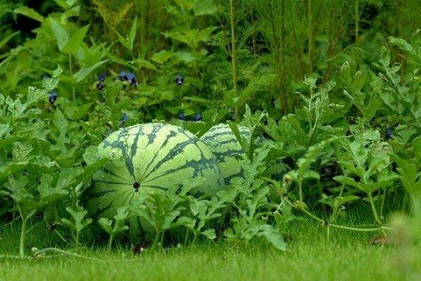 Фото спелого арбуза на траве