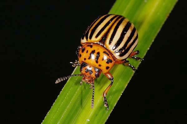 Колорадский жук на стебле