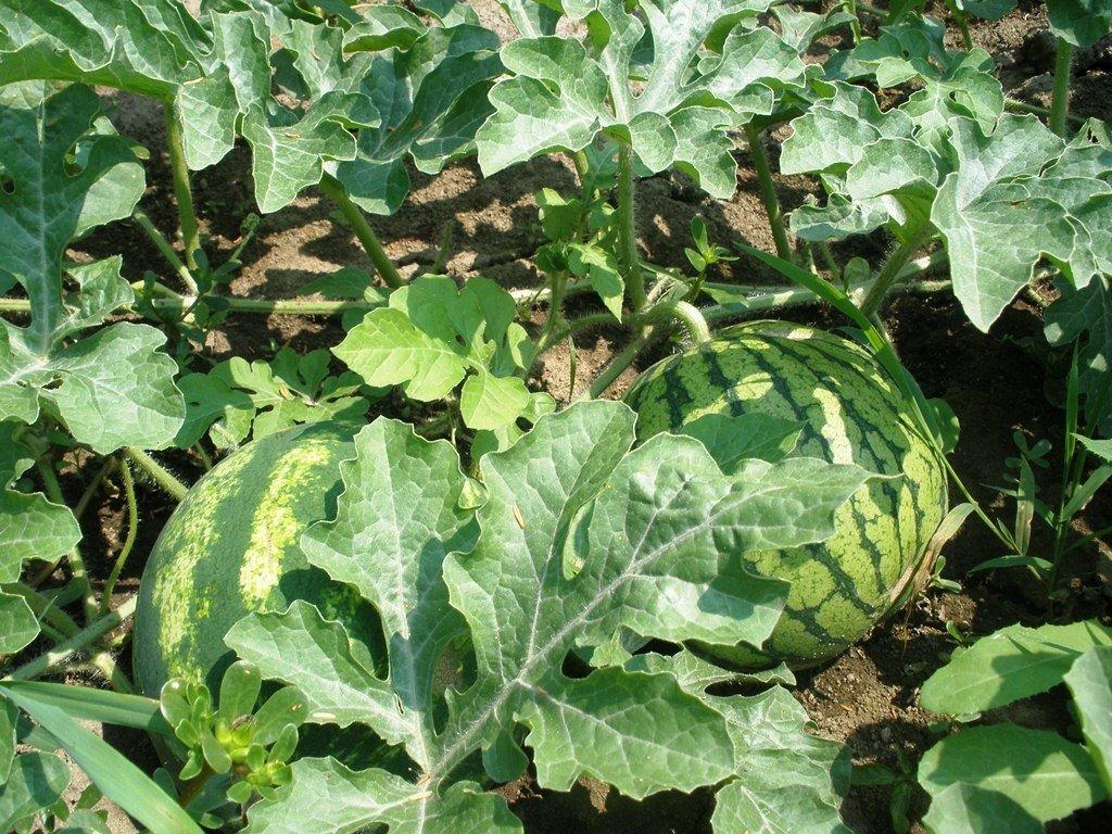 Важно следить и защищать арбуз от вредителей