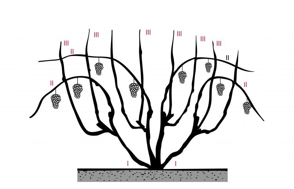 Поэтапная схема обрезки винограда