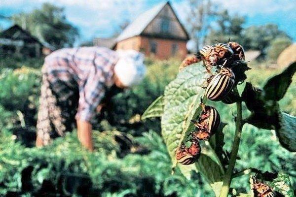 Колорадские жуки на картошке
