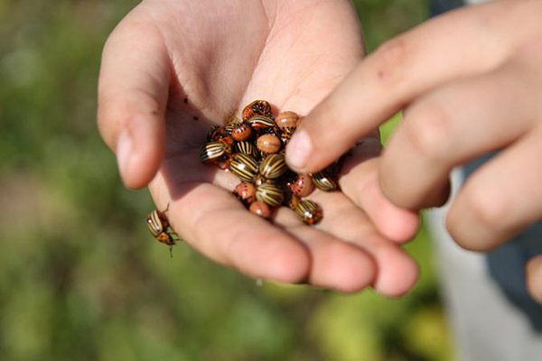 Колорадские жуки в руке