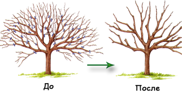 Груша до и после обрезки