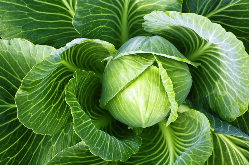 Как должен выглядеть здоровый кочан капусты