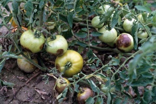 Фото фитофтороза на помидорах