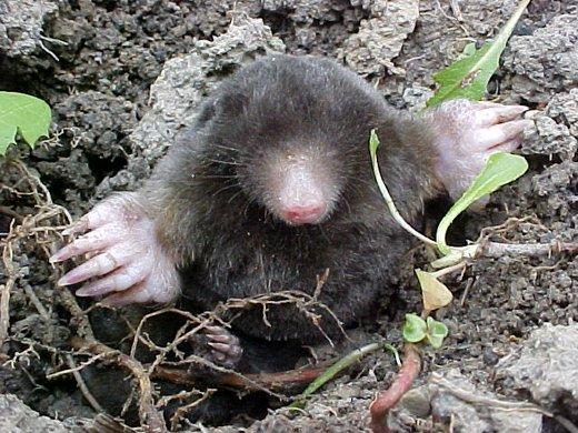 Слепой крот выглядывает из ямы в поисках пищи
