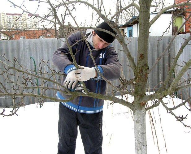 Мужчина и работы по купированию веток зимой