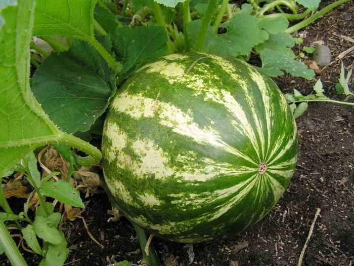 Для хорошего урожая следует соблюдать температурный режим