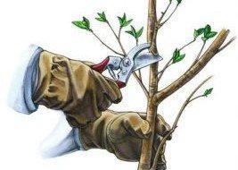 Иллюстрация работы секатором по обрезке дерева