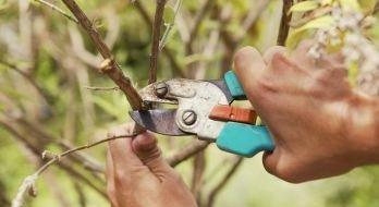 Как работать секатором с кустарником