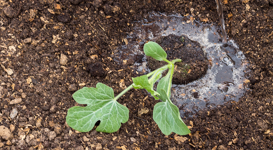 Секреты и хитрости выращивания арбуза в средней полосе