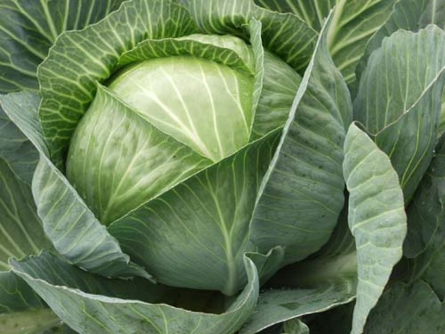 Как часто и чем поливать капусту