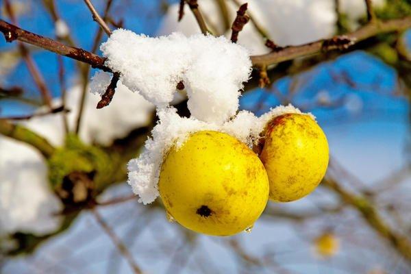 Яблоки зимой на ветке