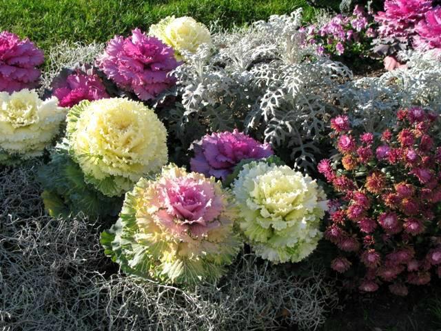 Как украсить участок декоративной капустой