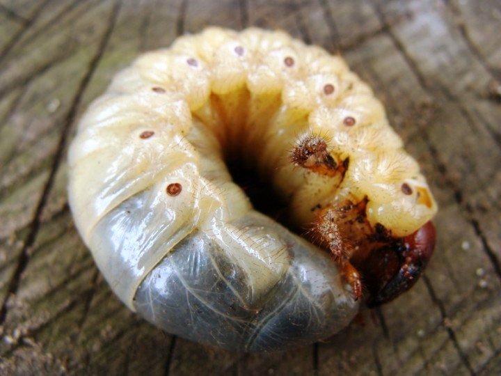Особенности маленькой личинки вредителя