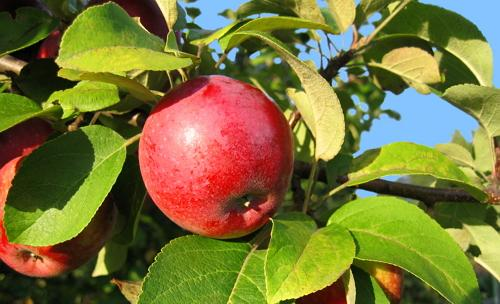 Спелые плоды в июле