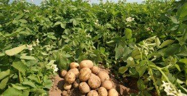 Несколько клубней картофеля на фото