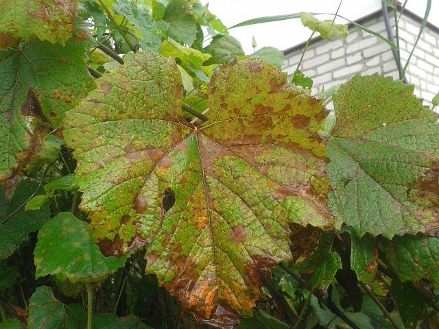 Пожелтевшие от болезни листки