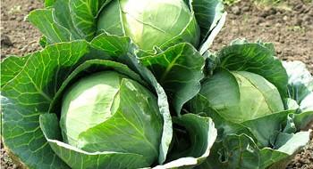 Как выглядит здоровый кочан капусты