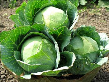 Почему вянут листья у капусты: причины и что делать