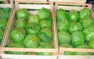 Хранение капусты в ящиках