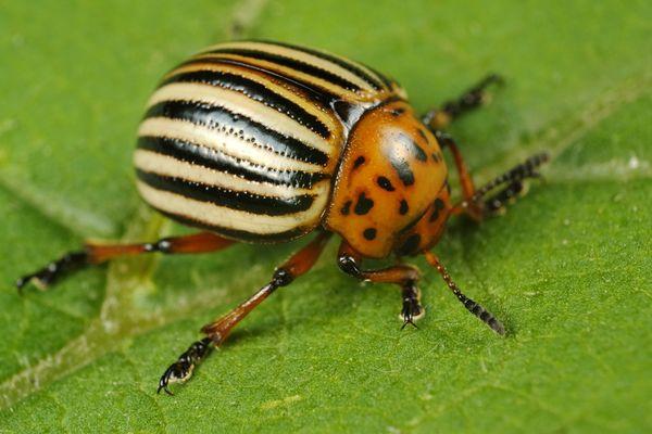 Фото колорадского жука на листке