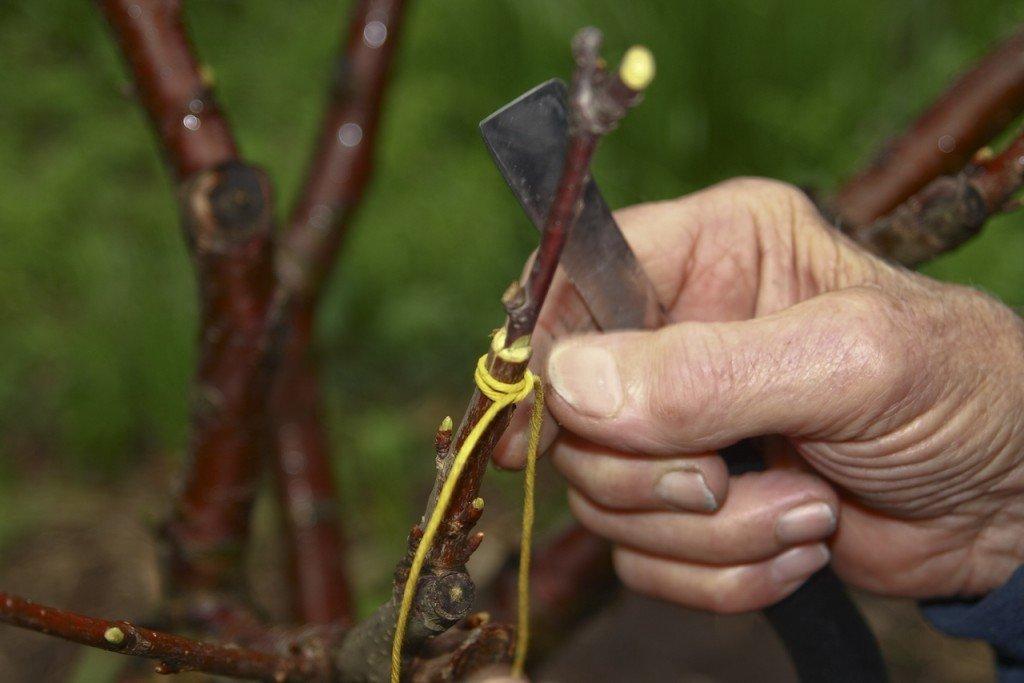 Прививка для деревьев сливы