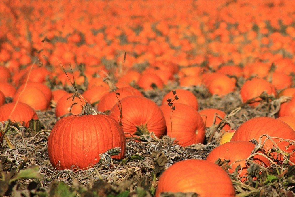Ярко-оранжевая тыква на поле