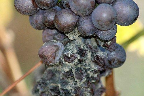 Порченный виноград и увянувшие ягоды