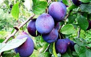 Спелые плоды сливы фото