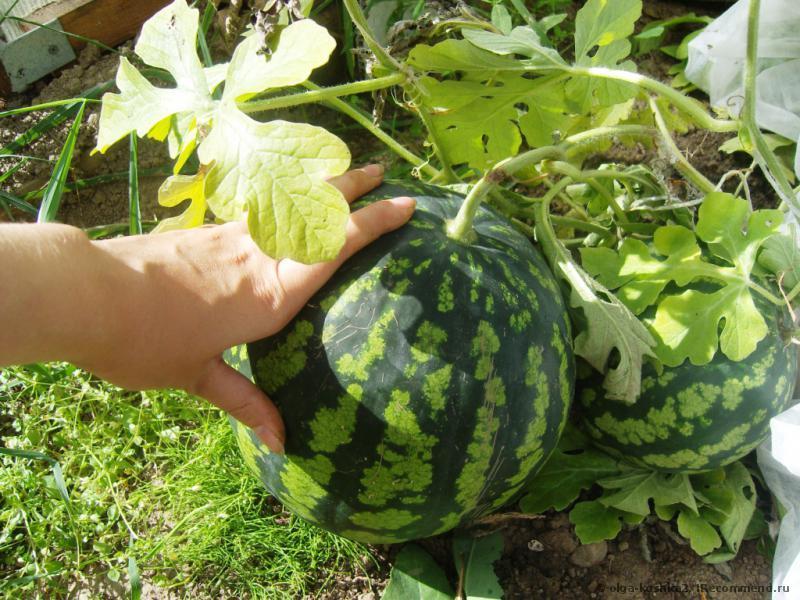 Большой и спелый плод