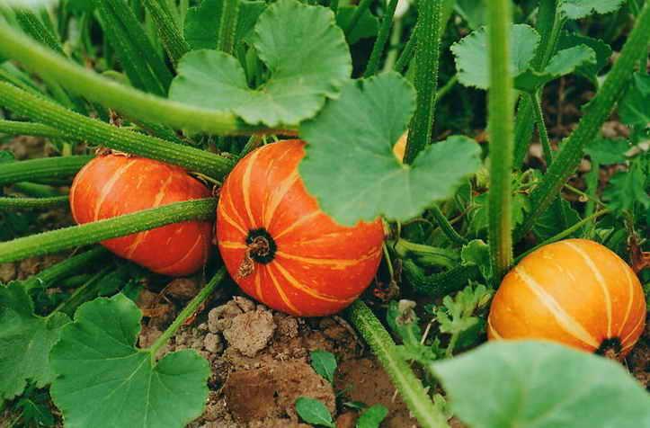 Спелые плоды в огороде