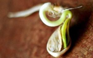 Как прорастает семя тыквы