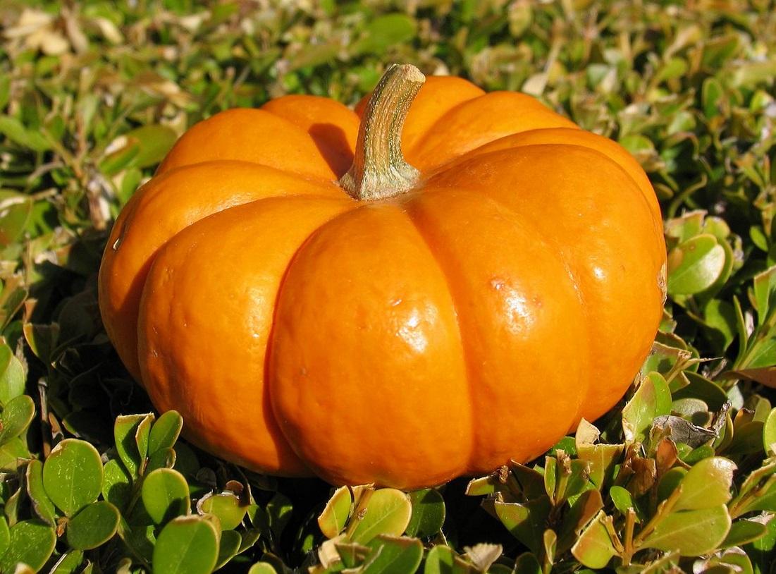 Секреты посадки тыквы в открытый грунт и основы ухода за ней - Выращивание и уход