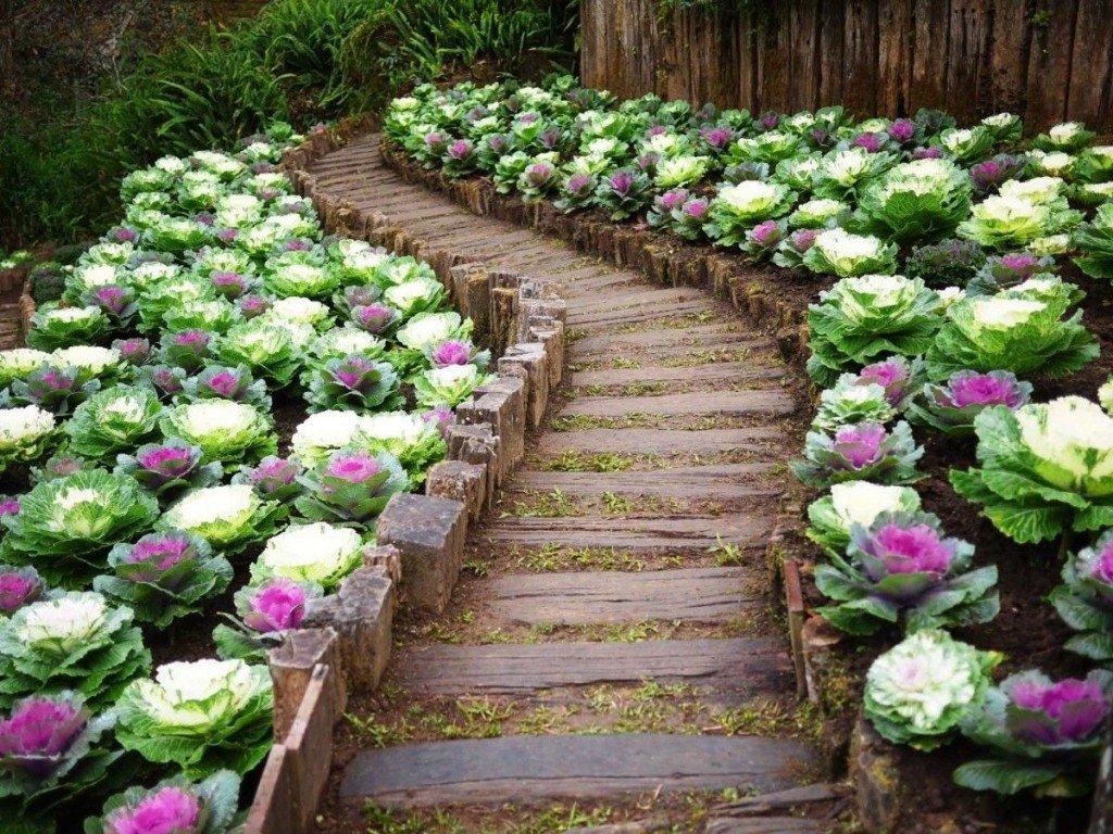 Аллея в саду, вымощенная капустой