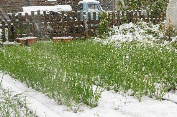 Зимой лук имеет больше возможностей хорошо развиваться