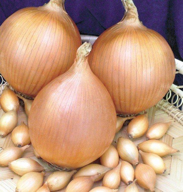 Для хорошего урожая необходимо отбирать качественный севок