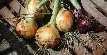 Как правильно выращивать озимый лук