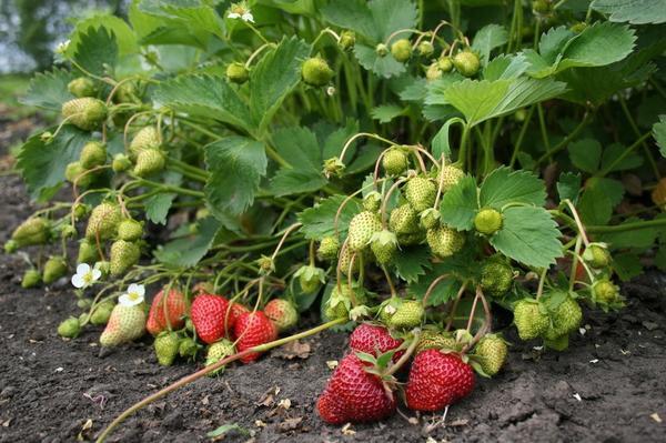 Куст с зелеными и спелыми ягодами