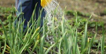 Как происходит полив лука после посадки