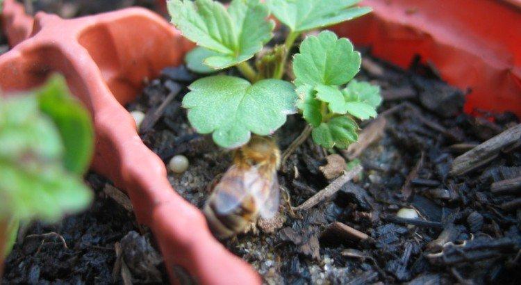 Пчела села на куст клубники